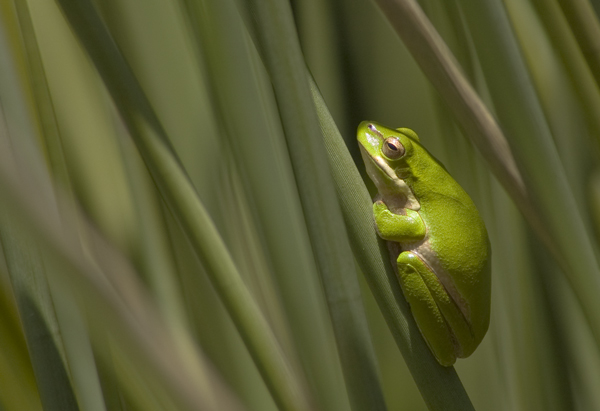 Green Reed Frog