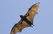 Grey-headed Flying-fox