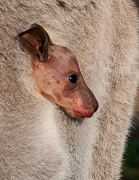 Grey Kangaroo Joey