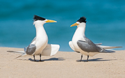 Crested Terns courtship
