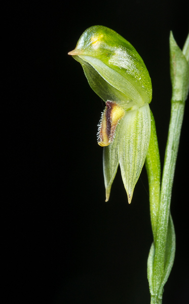 Common Leafy Greenhood Orchid