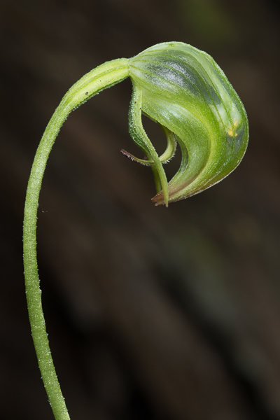 Nodding Greenhood Orchid