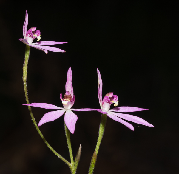 Pink Fingers Orchid